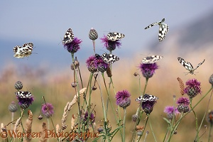 Marbled White Butterflies flying over flowers