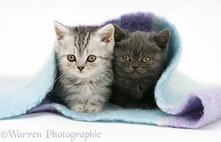 Two kittens under a scarf