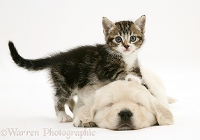 Tabby kitten leaning on sleeping Golden Retriever pup