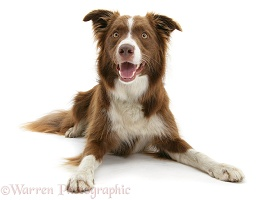 Chocolate Border Collie lying with head up