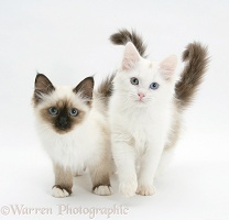 Birman and Birman x Ragdoll kittens
