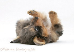 Sheltie x Poodle pup, rolling on its back