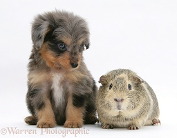 Sheltie x Poodle pup with Guinea pig