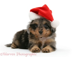 Sheltiepoo pup wearing a Santa hat