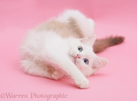 Birman x Ragdoll kitten on pink background