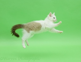 Birman x Ragdoll kitten jumping