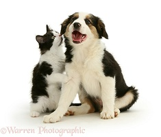 Border Collie puppy with a black-and-white kitten