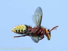 Hornet worker in level flight