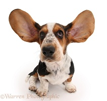Basset Hound pup with ears up
