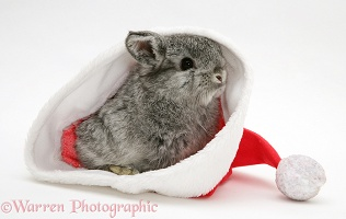 Silver baby rabbit in a Santa hat