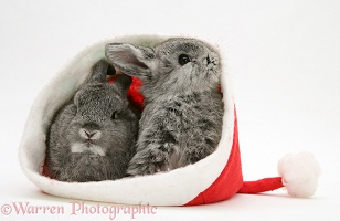 Two baby rabbits in a Santa hat
