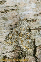 Large Ranunculus Moth camouflaged