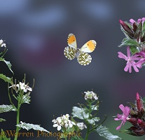 Orange tip in flight