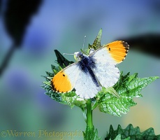 Orange tip on garlic mustard