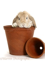 Sandy Lop rabbit in a flowerpot