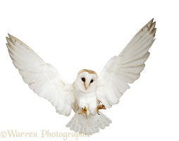 Barn Owl pouncing