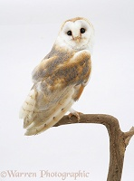 Barn Owl perched