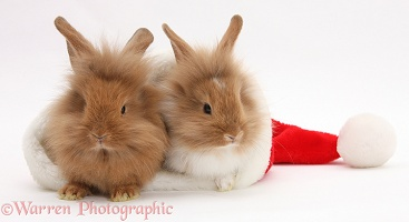 Sandy Lionhead rabbits in a Santa hat