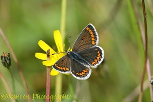 Brown Argus butterfly on hawkweed