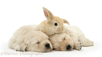 Sleepy Golden Retriever pups with young rabbit