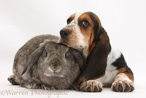 Basset Hound pup with agouti Lop rabbit