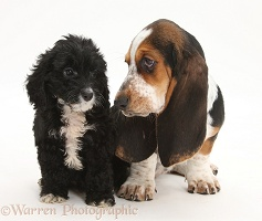 Basset Hound pup with Tuxedo Cockapoo pup