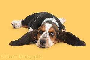 Basset Hound pup with chin on floor