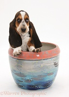 Basset Hound pup in a plant pot