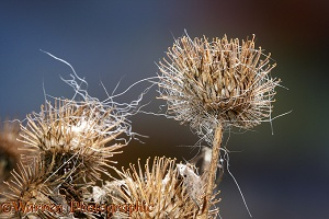 Burdock seed head with animal hair