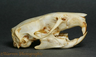 Brown Rat skull