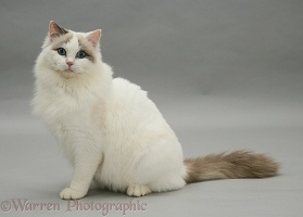 Lilac bicolour Ragdoll cat sitting