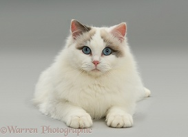 Lilac bicolour Ragdoll cat lying with head up