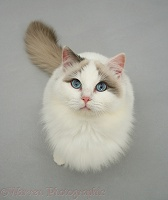 Lilac bicolour Ragdoll cat looking up