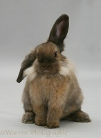 Lionhead-cross rabbit