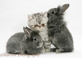 Exotic kitten with Lionhead rabbit