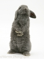Young grey Lop rabbit