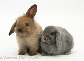 Young brown and grey Lop rabbits
