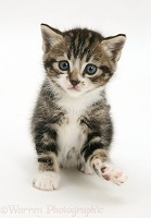 Tabby-and-white kitten