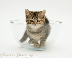 Tabby kitten in a glass bowl