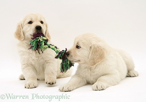 Golden Retriever pups playing tug