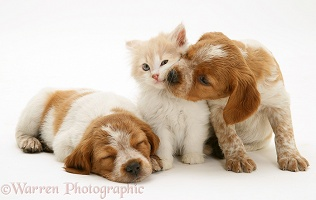 Kitten with Brittany Spaniel pups