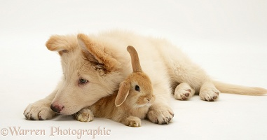 White Alsatian pup with baby Sandy Lop rabbit