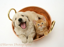 Golden Retriever pup and ginger kitten in a copper pan