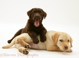 Yellow and Chocolate Retriever pups