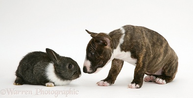 Miniature English Bull Terrier pup with baby rabbit