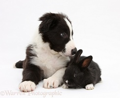 Black-and-white Border Collie pup and baby black rabbit
