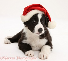 Black-and-white Border Collie pup wearing a Santa hat