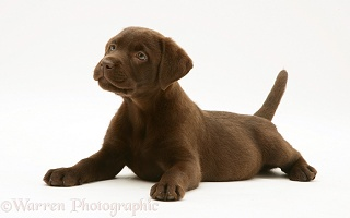 Chocolate Labrador Retriever pup