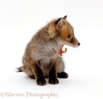 Cute little Red Fox cub, yawning