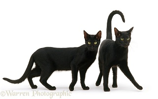 Two black Oriental cats